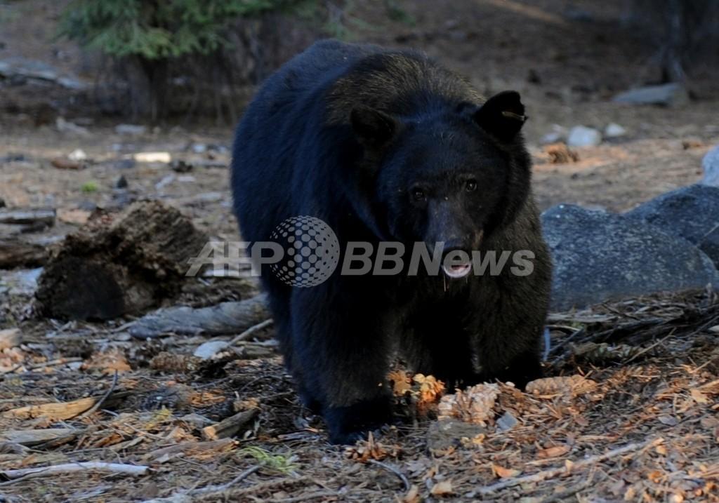 ツイッターで人気集めたクマ、山に帰る 米ロサンゼルス