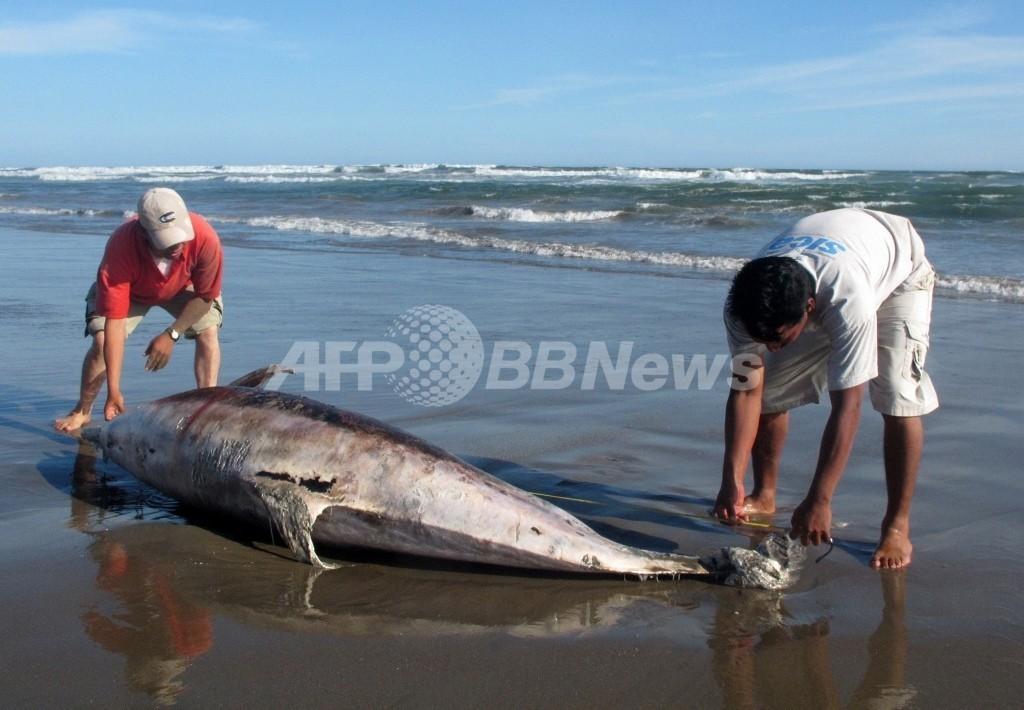 ペルー政府、イルカ大量死の調査結果を発表 「自然の原因」
