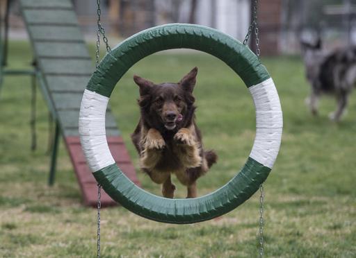 警察犬目指し訓練に励む200匹の犬、生後50日のゴールデンも チリ