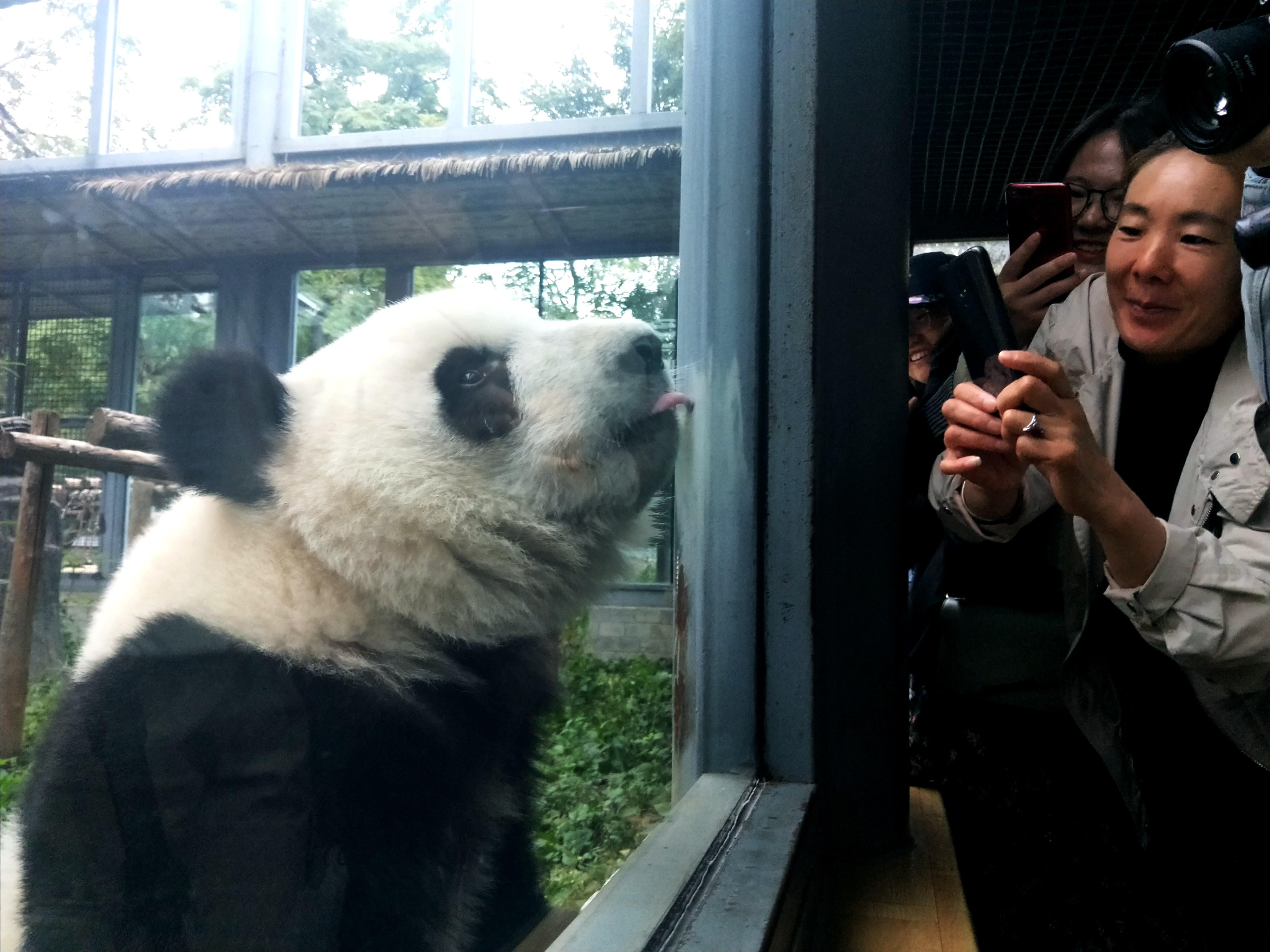 四川から来たパンダの双子姉妹、北京動物園でお披露目
