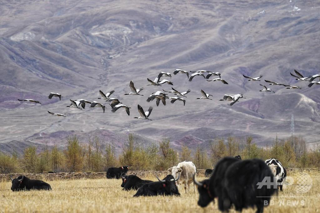 オグロヅル、越冬のためラサの高原地に飛来