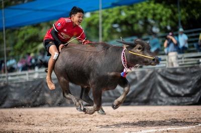 振り落とされそう! タイで大迫力の水牛レース