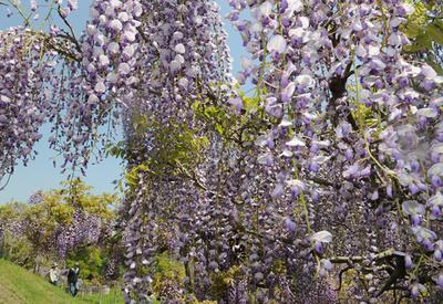 フジ色のとばりが幾重にも 横須賀しょうぶ園で見頃