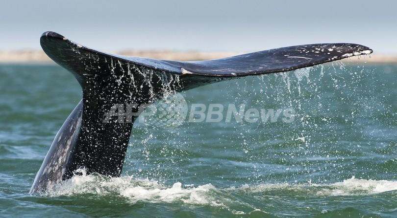 北太平洋のセミクジラ絶滅寸前、メス8頭のみ 米調査
