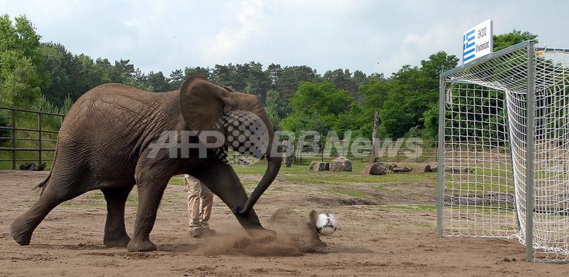 象がドイツの準々決勝の結果を予想、サッカー欧州選手権