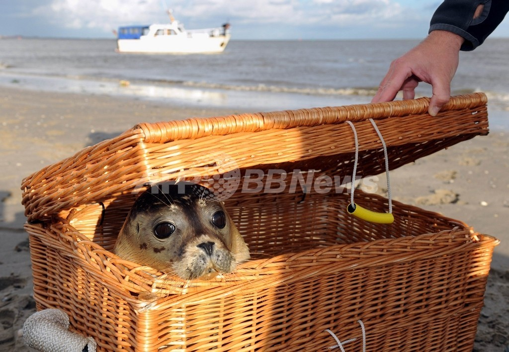 子どもアザラシ4頭、海に帰る 独ユイスト島