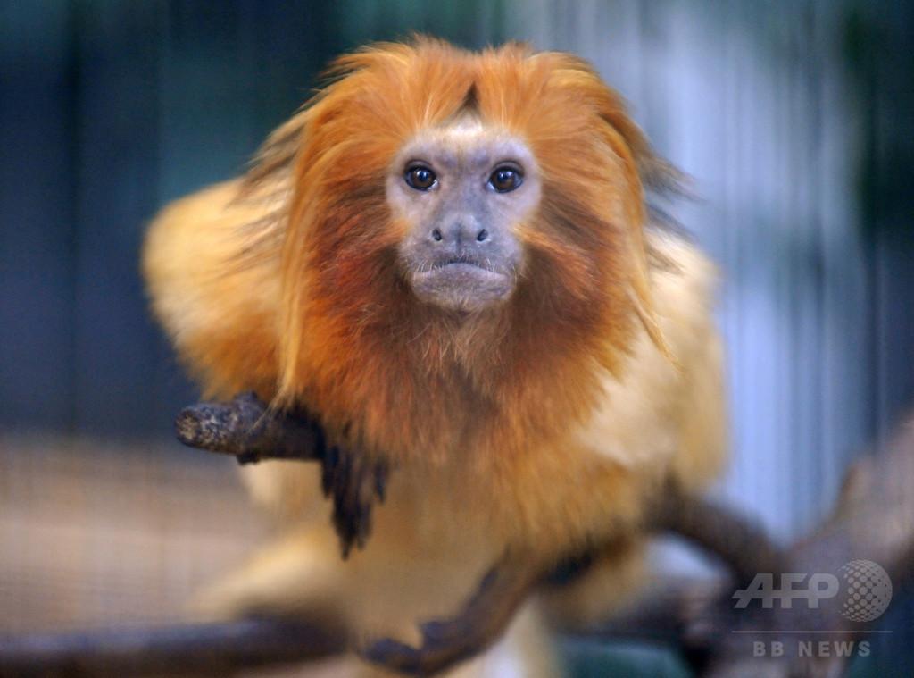 仏動物園から希少種のサル17匹盗まれる、専門知識もつ集団か