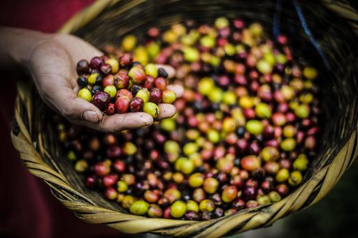 中米コーヒー農園、排水利用の再生エネルギーに注目