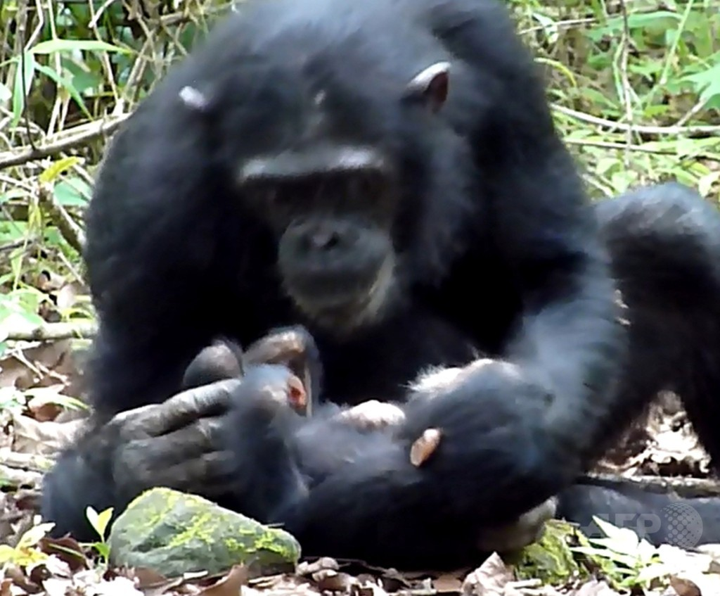 障害ある野生のチンパンジー、母と姉が世話