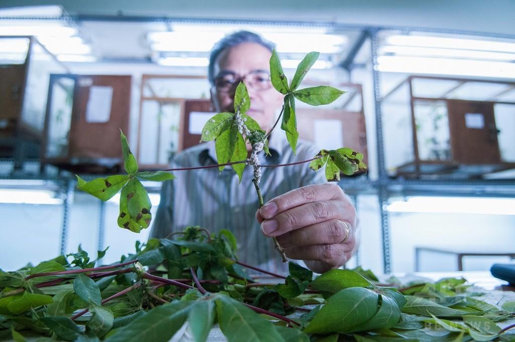 寄生バチの「特殊部隊」でキャッサバの害虫駆除、インドネシア