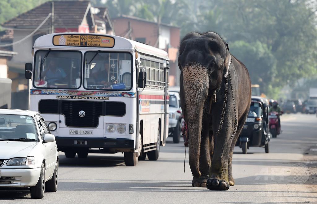 スリランカの警察官、ゾウに追いかけられ自動小銃紛失 捜索実施