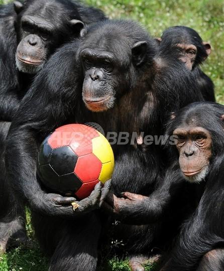 チンパンジーも「右利き」が主流、スペイン研究