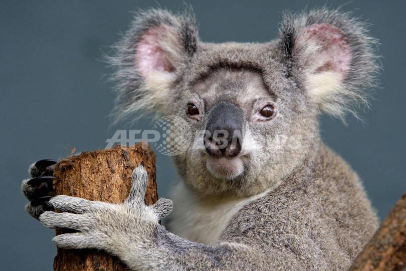 「コアラが絶滅してしまう」、豪NGOが国家戦略での保護を要請