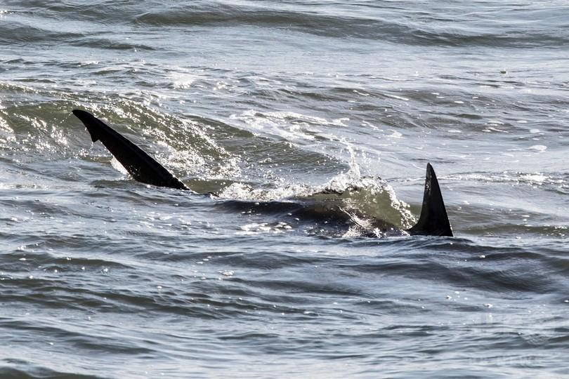 イスラエル沿岸にサメ数十匹、発...