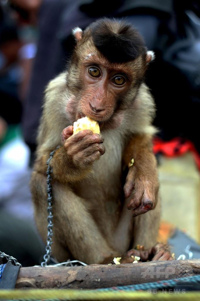 ココナツ取りを仕込んだサル売ります、インドネシア