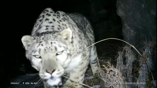 動画:ユキヒョウや希少な野生動物がカメラに 甘粛・祁連山