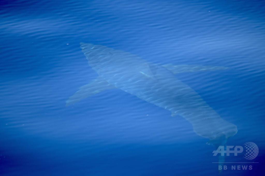 スペイン沖で30年ぶりにホオジロザメが確認される