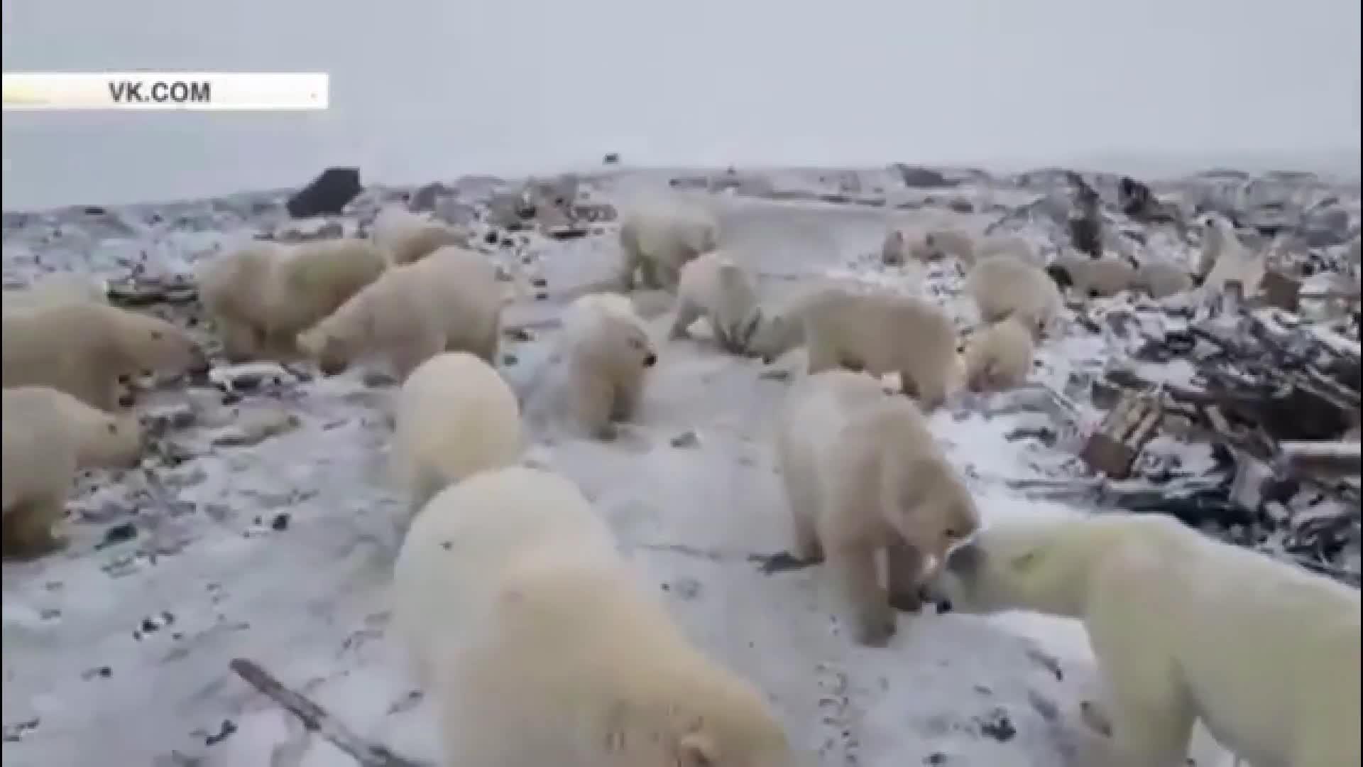 動画:餌求め…ホッキョクグマ50頭超が集落うろつく ロシア北部の島
