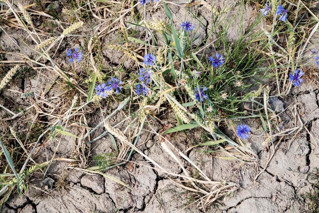 スウェーデンで未曽有の猛暑・干ばつ、牧草育たず家畜処分する農家も