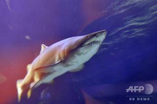 サメに襲われたサーファー、殴って撃退 豪ヌーディストビーチで