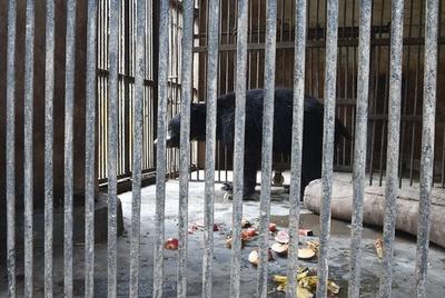 大道芸人から救出の「踊る熊」死ぬ、動物園の怠慢との非難も ネパール