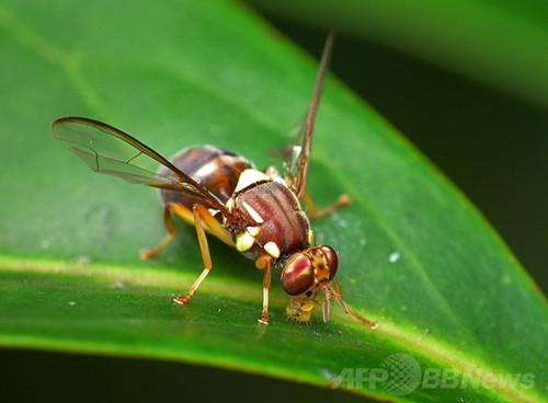 ハエたたきから身をかわすハエの動きを解明、米研究