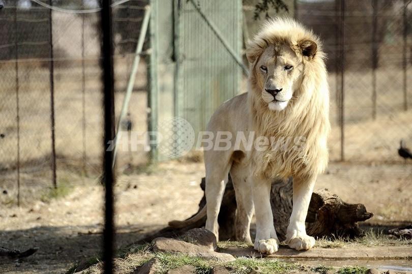 狩猟用の飼育ライオンが1週間逃亡中、南ア