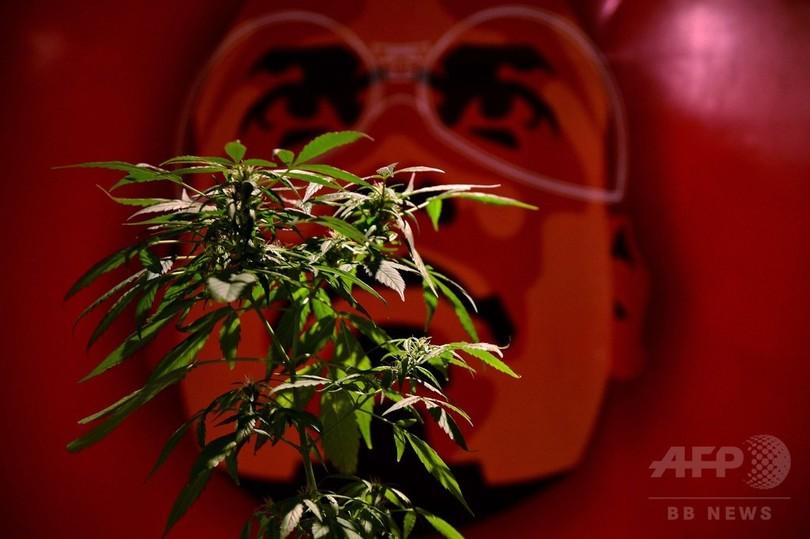 コロンビア、医療大麻を合法化