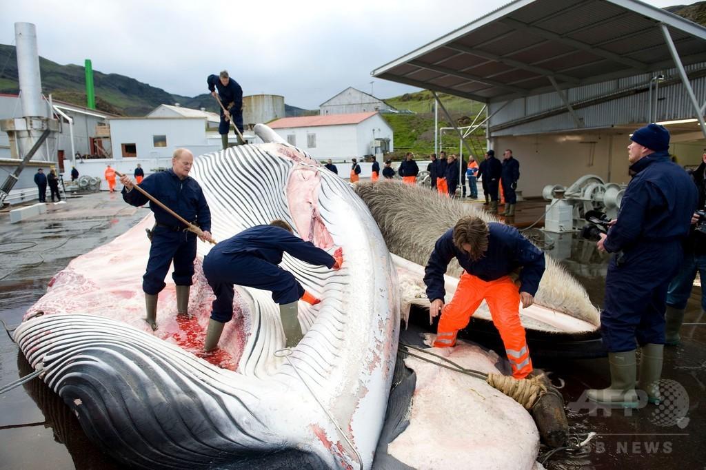 アイスランド、ナガスクジラ商業捕鯨を2年ぶり再開