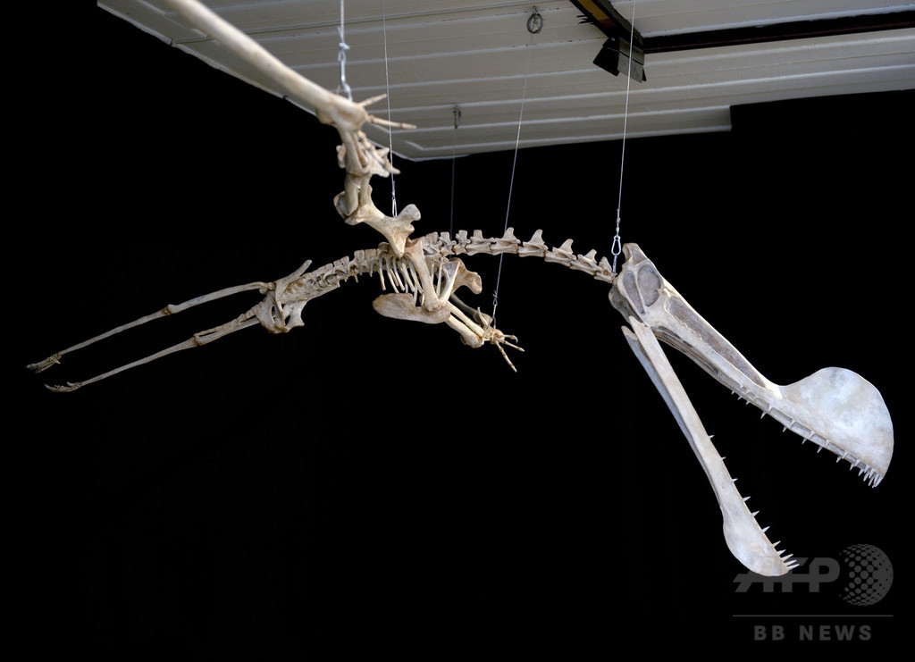 ペリカンに似た「のど袋」持つ翼竜、中国で化石発見