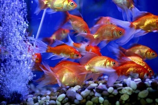 砂漠の国クウェートで目に涼しさ、市場の金魚