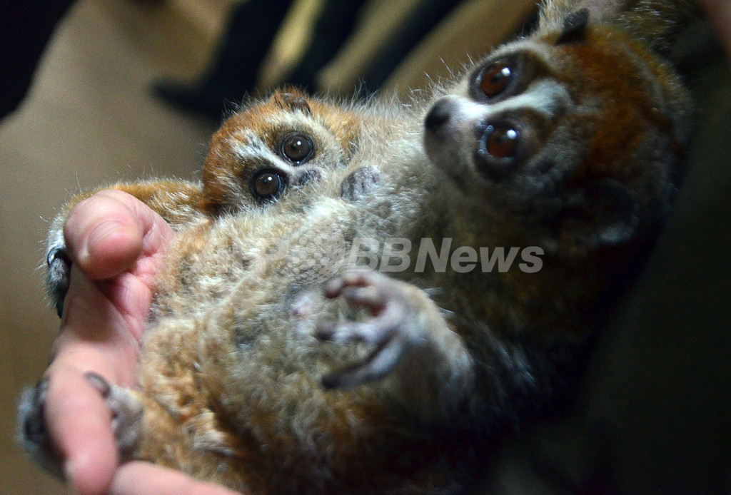 ピグミースローロリスの小さな赤ちゃん、ハンガリー動物園