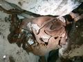 1万年前に生息か、巨大ナマケモノの化石発見 メキシコ