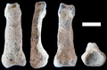 道具操作する最古の手、185万年前に進化か 研究