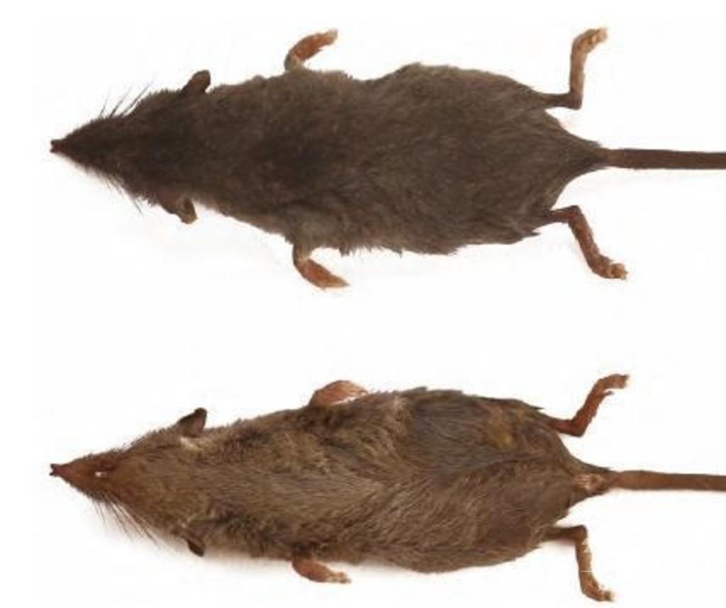 哺乳類の新種2種を発見 中国・黄山