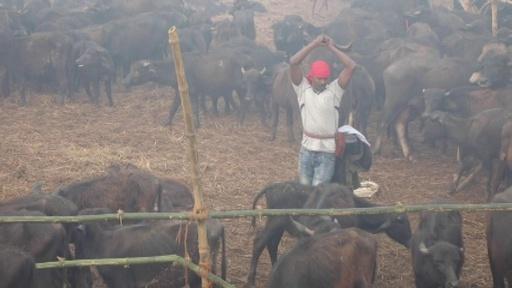 動画:世界最大のいけにえ祭り、ネパールで開幕 前回は動物20万頭が犠牲に