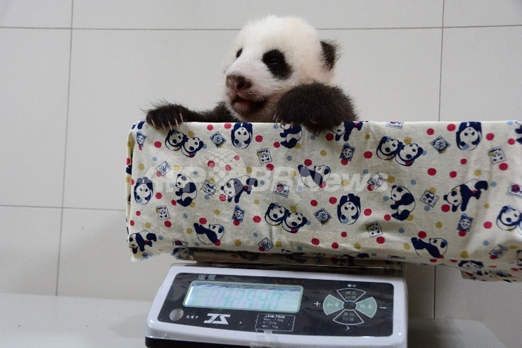 台湾生まれのパンダの赤ちゃん、もうすぐ誕生2か月