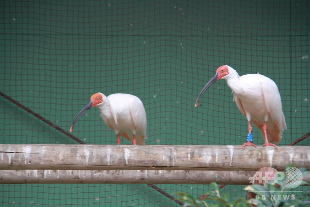 「吉祥の鳥」トキ、中国が日本に贈呈