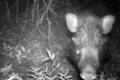 「世界一醜い豚」撮影に成功 ジャワ島の希少イノシシ