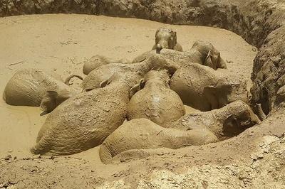 内戦時代の穴から野生のゾウ11頭救出、カンボジア