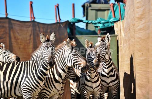 飢えたライオンの餌に・・・大規模なシマウマ移送作戦、ケニア