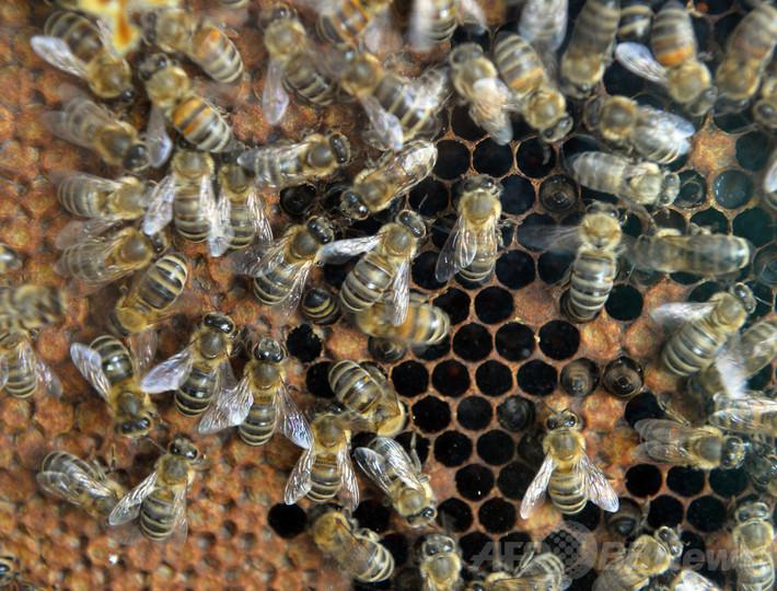クモの猛毒、ハチの救世主となるか 研究