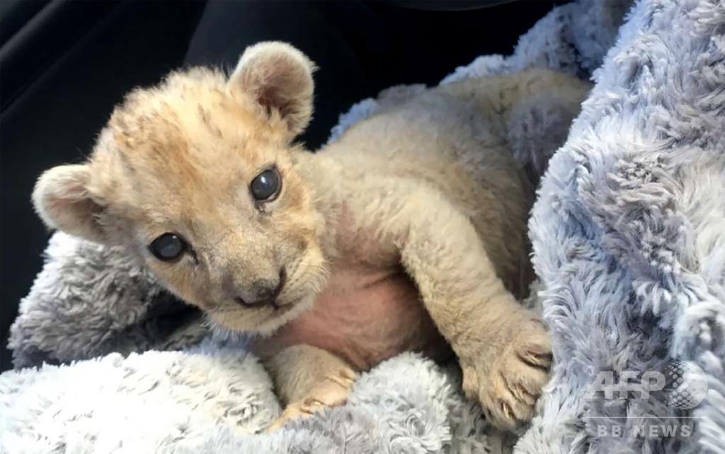仏でまたもライオンの赤ちゃん発見、自動車修理工場従業員に事情聴取