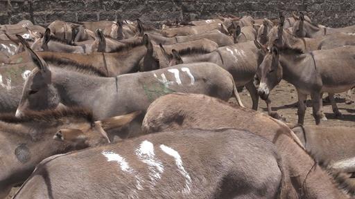 動画:ロバの皮を中国へ輸出 動物愛護団体、ケニアに禁止要求