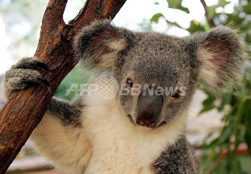 コアラやペンギンも絶滅の危機に、COP15で報告