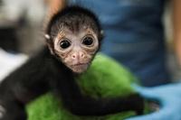 クモザルの赤ちゃん、意識不明から回復 コロンビア