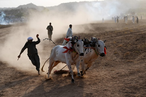 あふれる躍動感、パキスタン伝統の雄牛レース