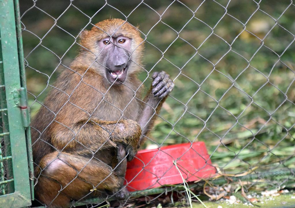 夫婦が娘のために動物園からヒヒ誘拐 マケドニア