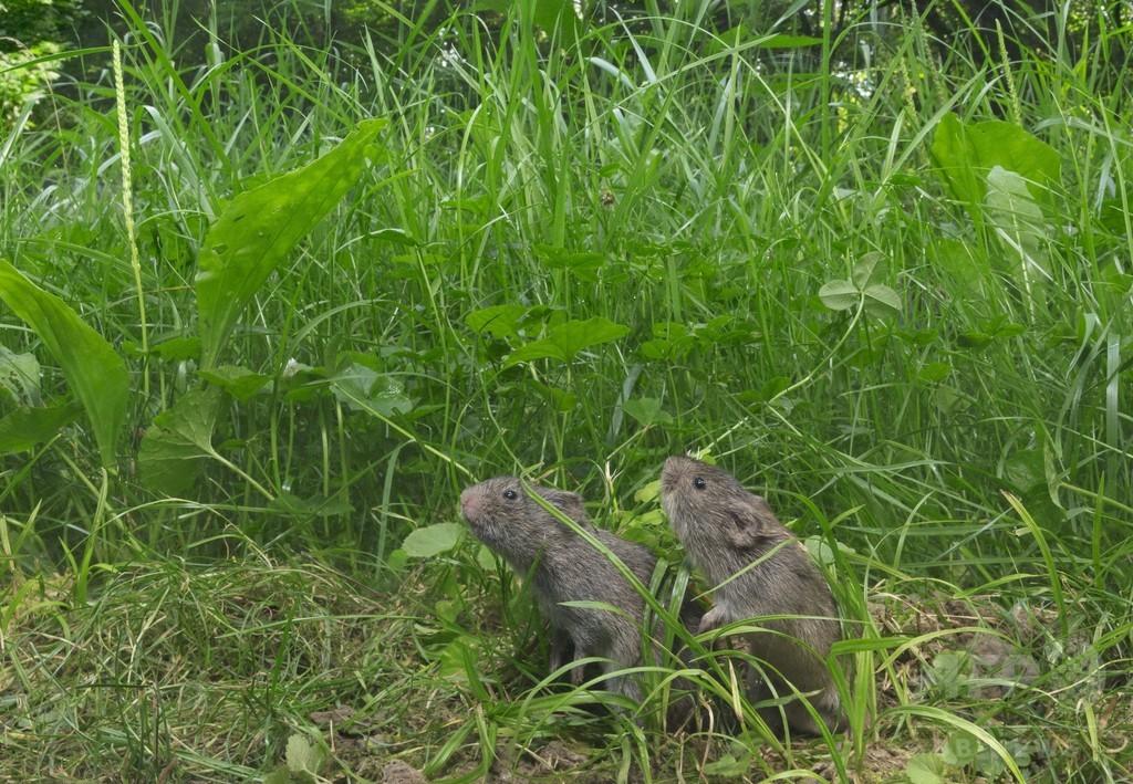 ネズミも仲間の苦しみに同情?げっ歯類で初の共感行動を確認