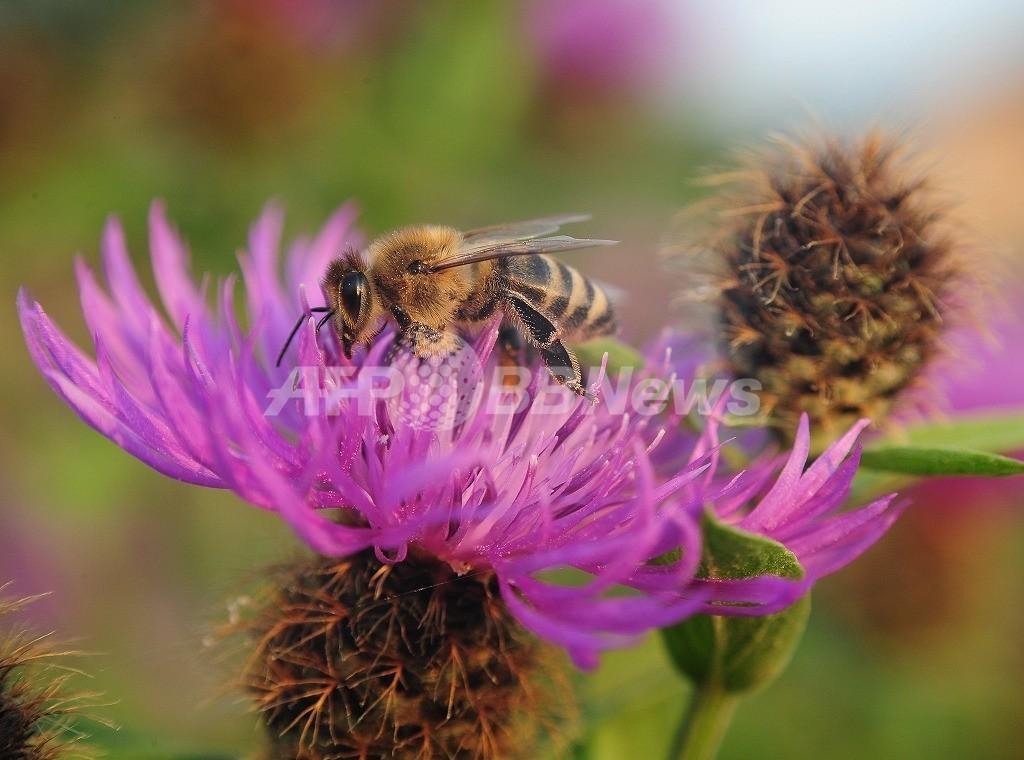 ミツバチを「ゾンビ」に変える寄生バエ発見、米研究